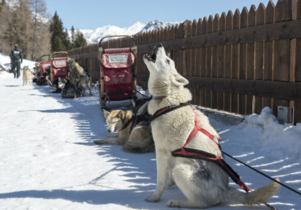 winter activities in alps Dog sledding in the Valtellina