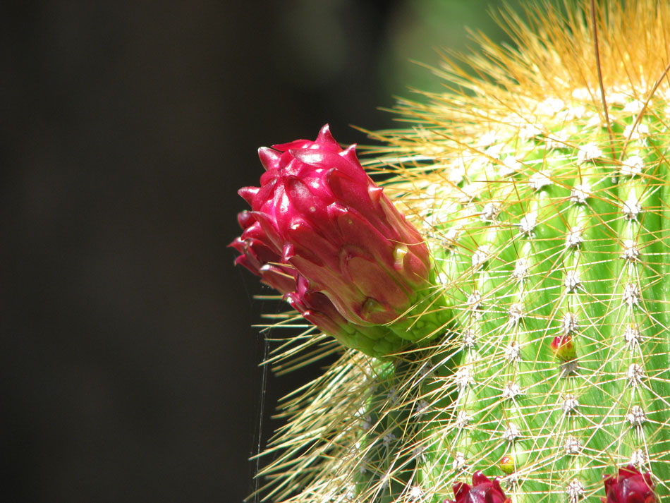Hanbury Gardens, Cactus