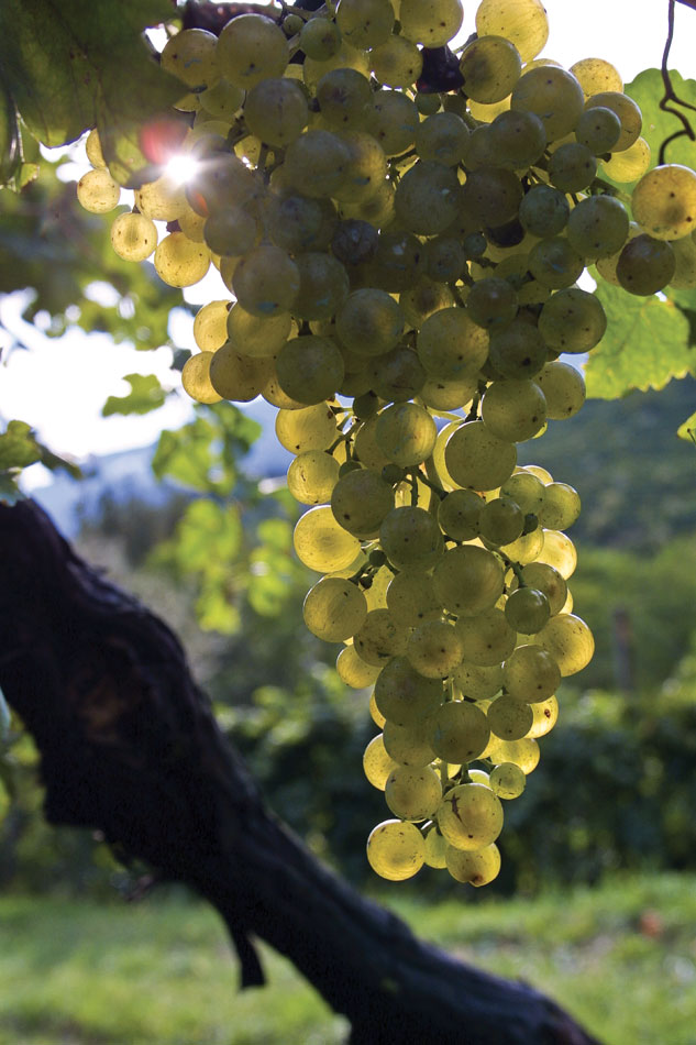 Glera grapes