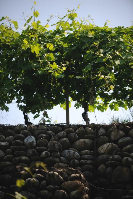 Travaglini vineyards