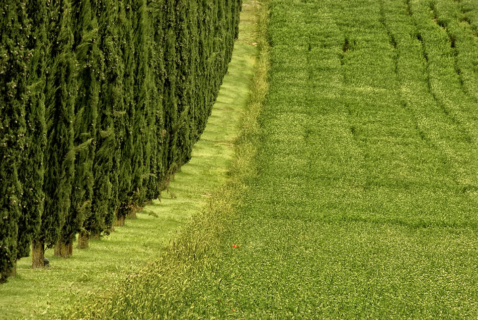Cypress trees in Montalcino