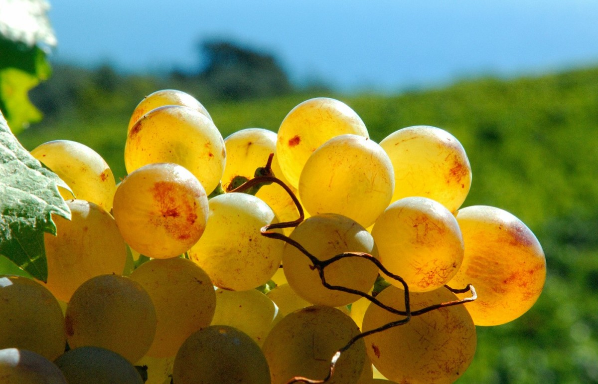 Vermentino and Pigato and two of Liguria's most famous grapes