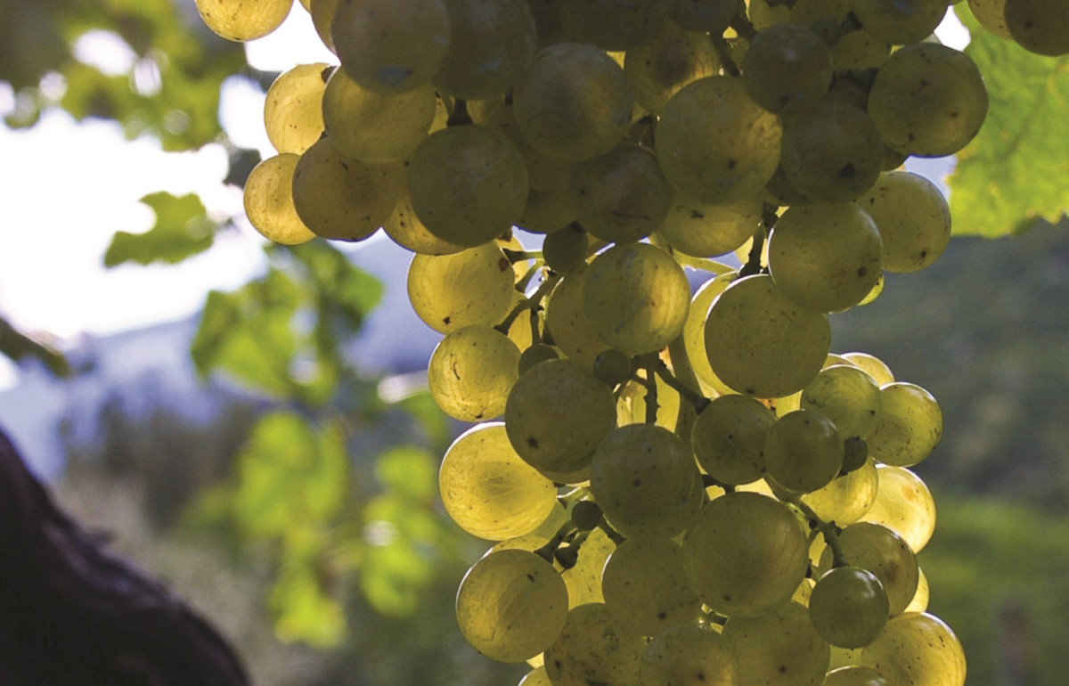Prosecco facts: this bubbly is made from the glera grape