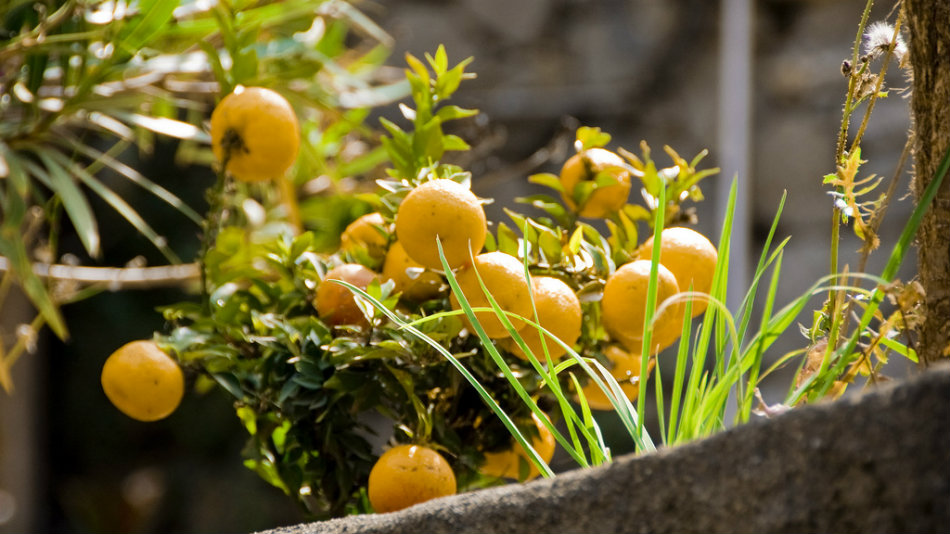 Lemons for making Limoncino in the Cinque Terre - by Tavallai