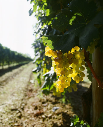 Cinque Terre food and wine: Vermentino grapes - © Cantine Lunae