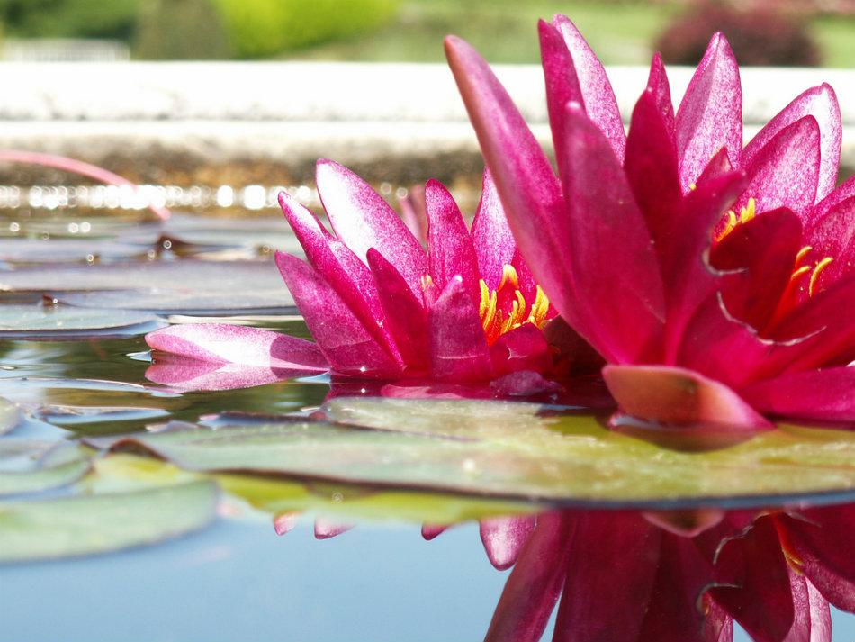 Water lilies - by Mauro Sartori
