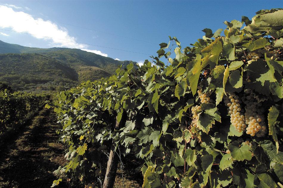 Vineyards of Campania - © Feudi di San Gregorio