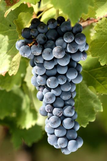 Grapes - © Feudi di San Gregorio