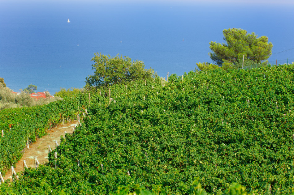 Poggio dei Gorleri's vineyards in Diano Marina - © Poggio dei Gorleri