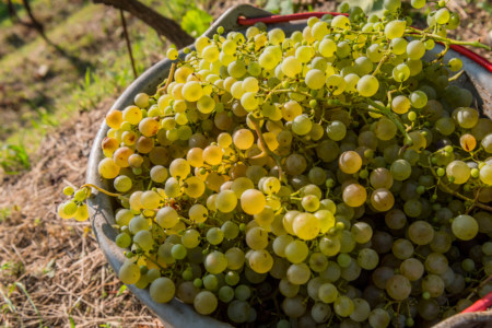 Manual harvesting - courtesy of Bortolomiol Winer
