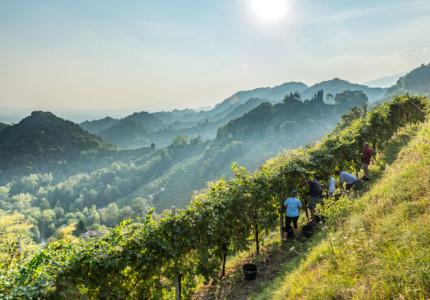 Harvesting time at Bortolomiol Winery
