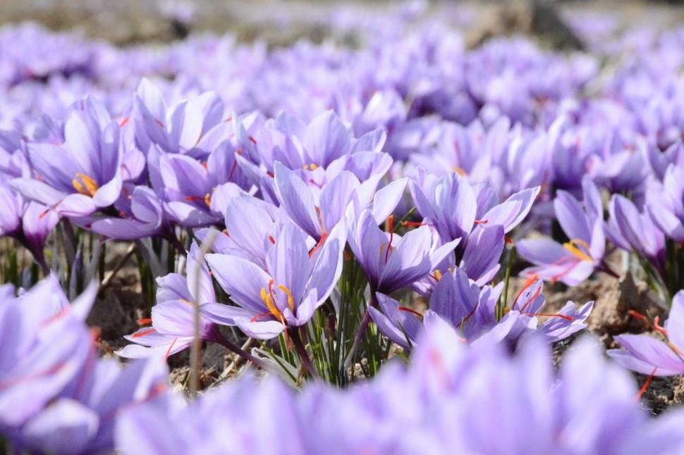 Saffron Crocus - by Mohammad Amiri