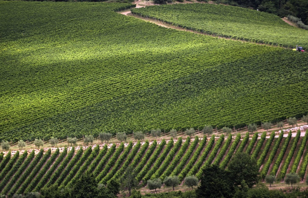 A landscape of the vineyards at Zenato winery