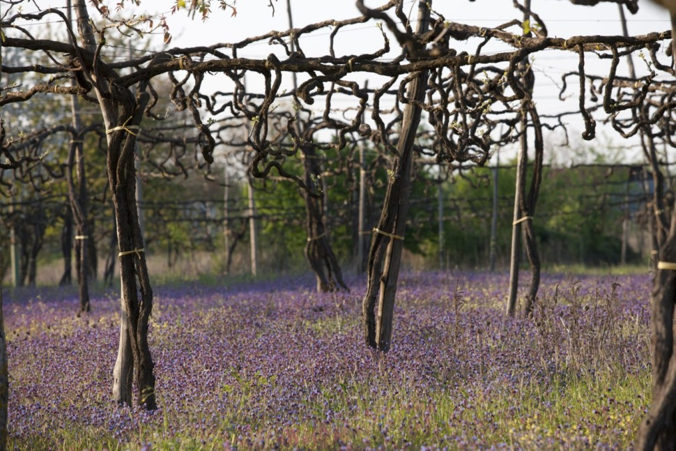 Trellised vines in a field of purple wildflowers at Feudi di San Gregorio