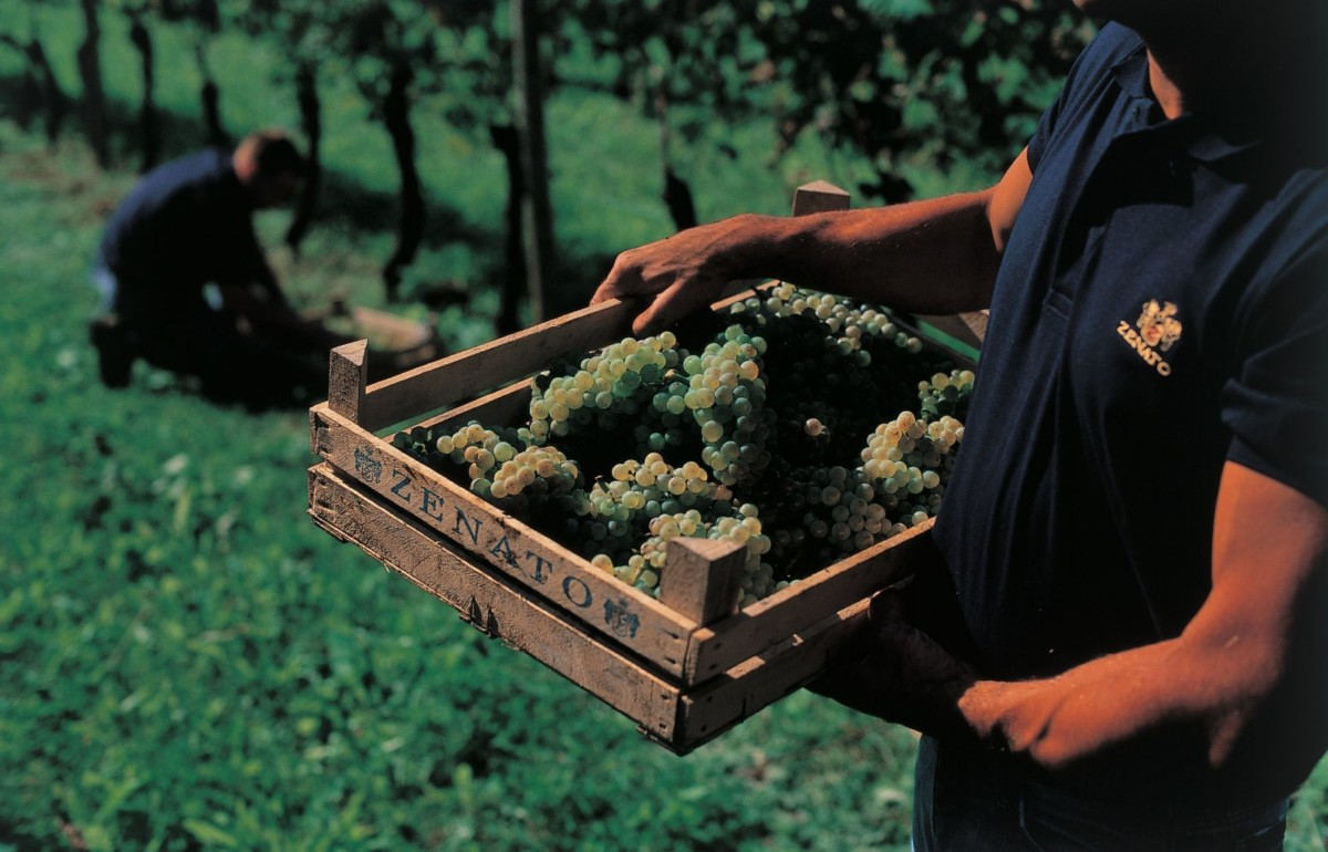 A man holds a Zenato branded wooden crate full of Trebbiano di Lugana grape clusters in the forefront