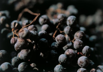 A close up of amarone grapes withering at Zenato