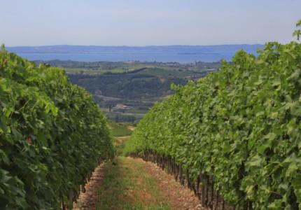 Rows of vineyards overlooking Lake Garda
