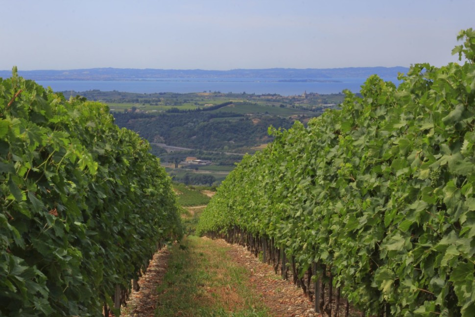 Rows of vineyards overlooking Lake Garda
