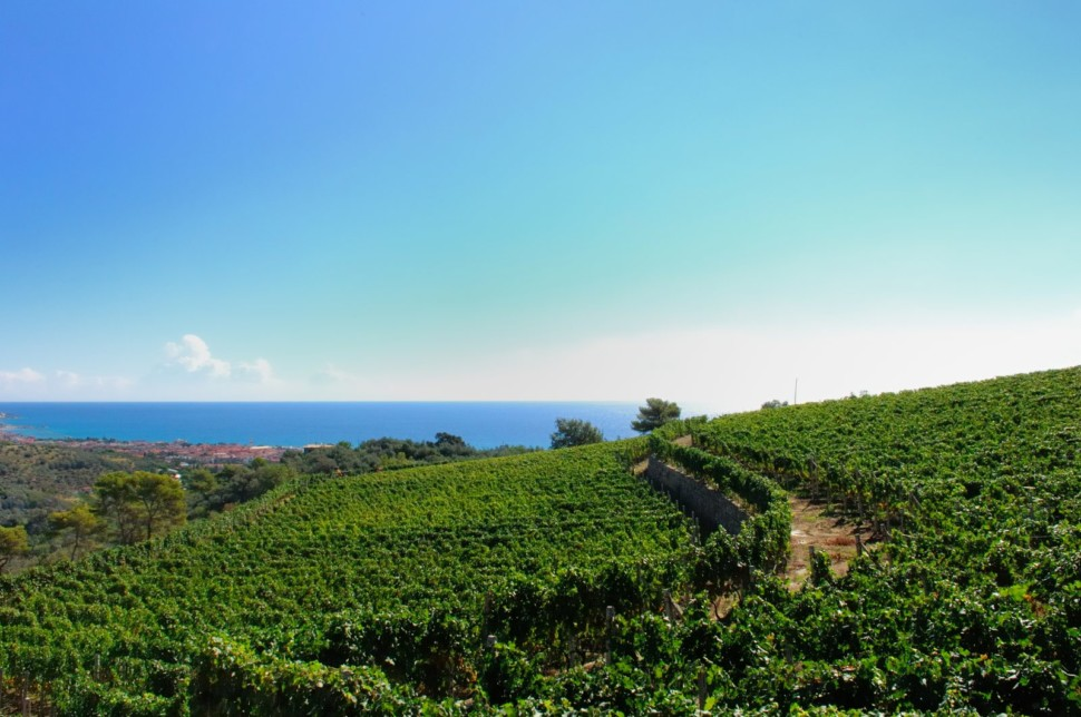 vineyards on the Riveria di Ponente in Liguria