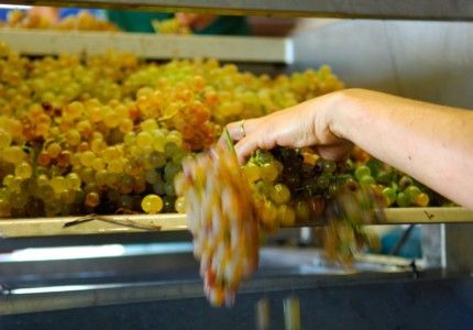 grapes being sorted