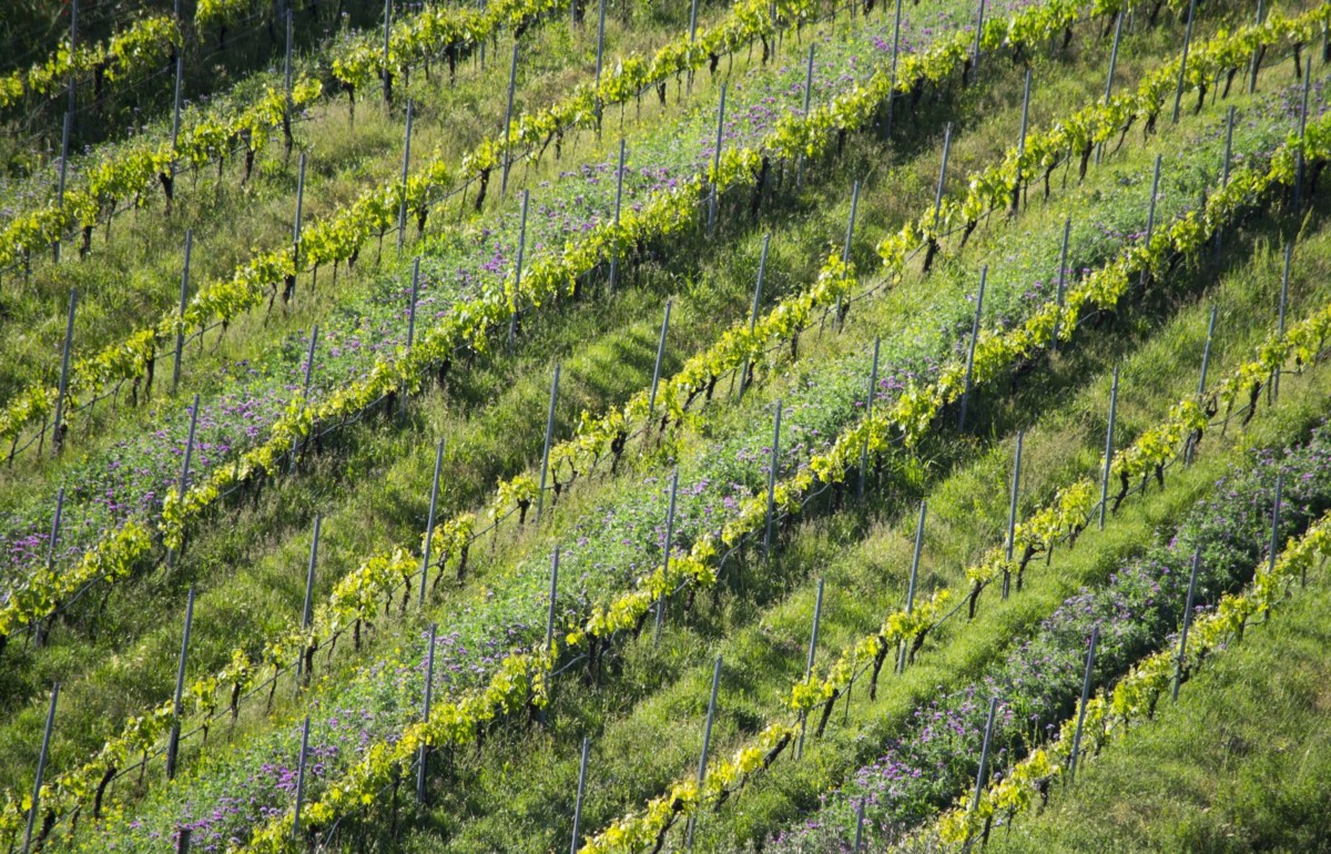 Wild flowers and rows of grape vines at Inama winery in Soave Classico