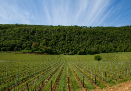 Rows of grape vines leading to a small hill at Inama winery