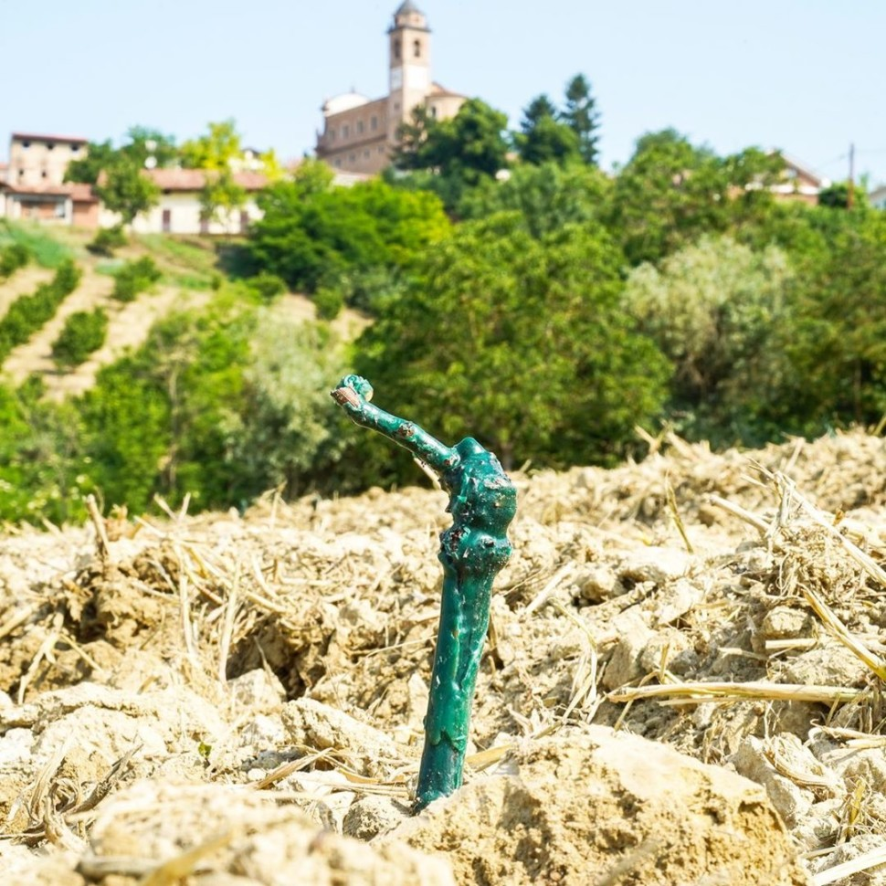 A new vine planted in the vineyards of Coppo